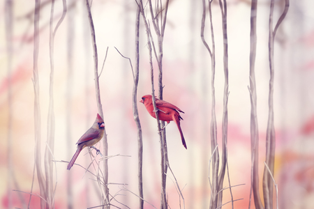 forest animals: Male and Female of Northern Cardinal