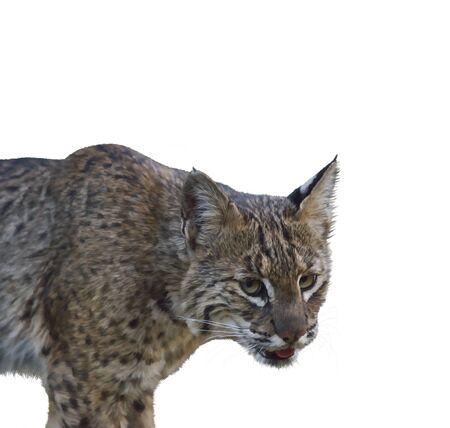 bobcat: Digital Painting of Wild Bobcat