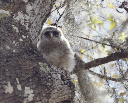 barred: Baby Barred Owl on a Tree