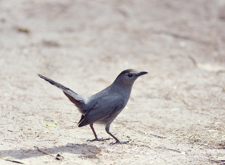 catbird: Gray Catbird in Florida Wetlands Stock Photo