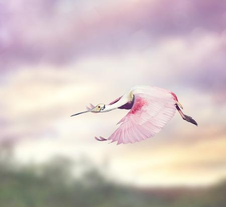 roseate: Roseate Spoonbill (Platalea ajaja) in Flight
