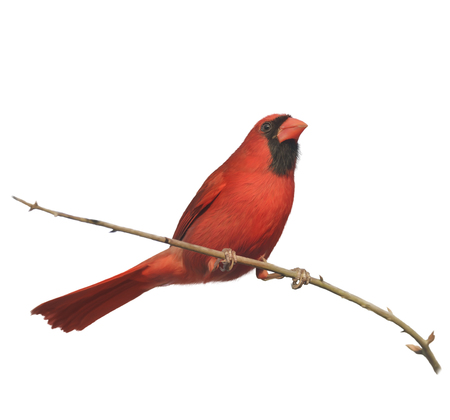 songbird: Digital Painting of Male Northern Cardinal Perching on a Branch Stock Photo