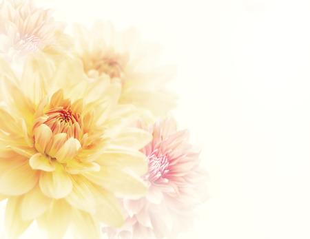 Dahlia Flowers Close Up ,soft focus Stock Photo
