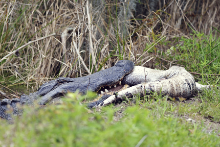alligator: Large Florida Alligator Eating an Alligator Stock Photo