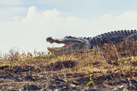 wetlands: Large Florida Alligator in Wetlands