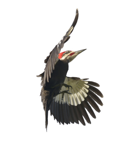 white  background: Digital Painting of  Pileated Woodpecker