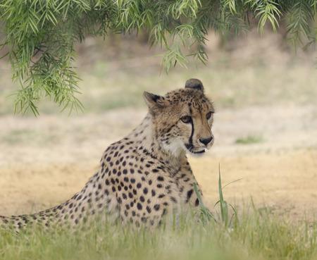shady: Cheetah  Resting in a Shady Spot