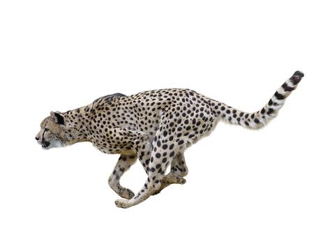 흰색 배경에 고립 치타 달리기, 스톡 콘텐츠