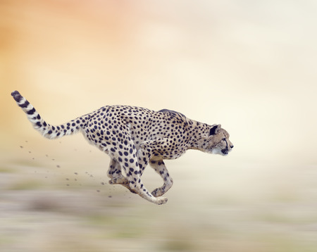 Cheetah  Running on Soft Focus Background Banque d'images