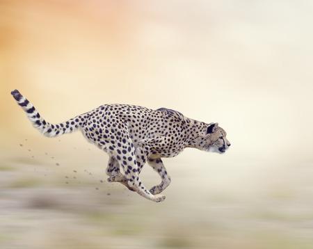 Cheetah  Running on Soft Focus Background Foto de archivo