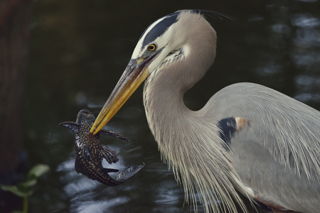 blue fish: Great Blue Heron with a Fish