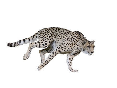 Cheetah  Running ,Isolated on white Background Reklamní fotografie - 57481128