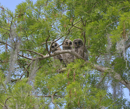barred: Three Barred Owlets Perching on a Branch