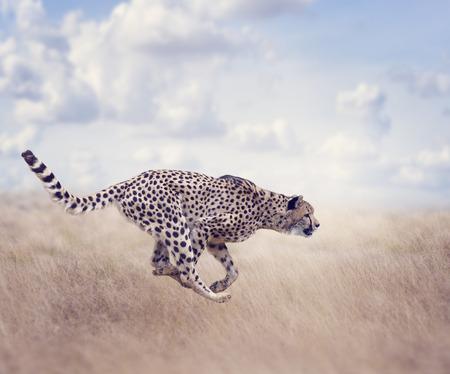 목초지에서 뛰는 치타