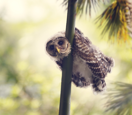barred: Barred Owlet Perches on a Branch Stock Photo