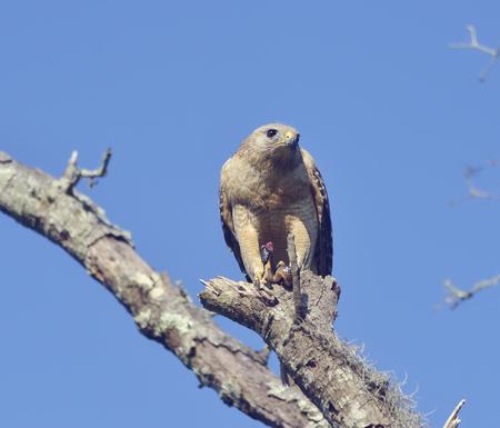 shouldered: Red  Shouldered Hawk Feeding on Snake