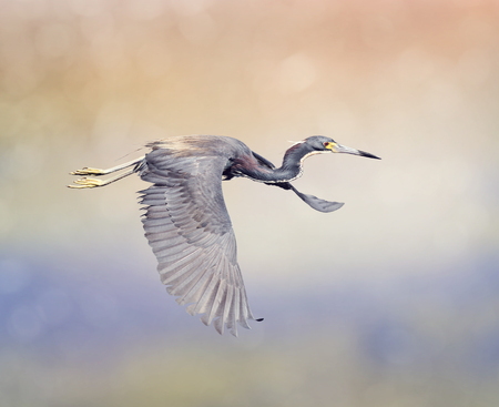 colourful sky: Tricolored Heron in Flight In Florida Wetlands