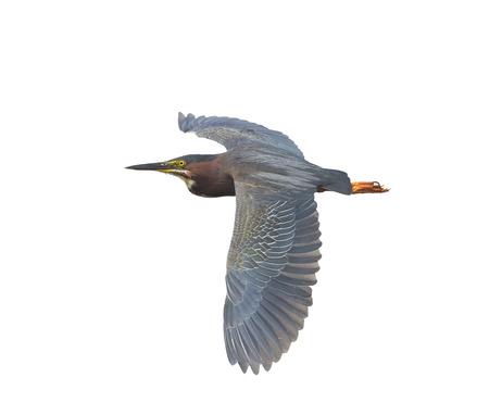 flucht: Green Heron im Flug isoliert auf weißem Hintergrund Lizenzfreie Bilder