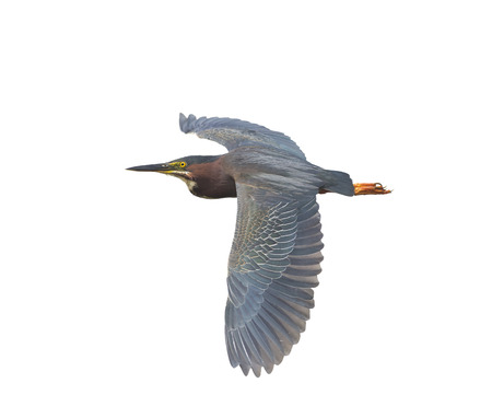 wade: Green Heron in Flight isolated on white background