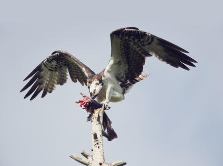 Osprey Feeding On Fish On A Tree Stock Photo
