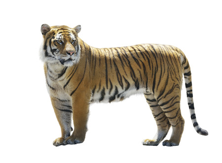 animal fur: Tiger Isolated on White Background