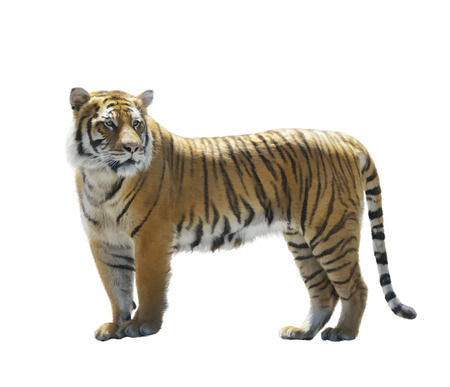 fur: Digital Painting of Tiger isolated on White