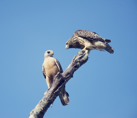 shouldered: Two Red Shouldered Hawks perching, adult and immature one