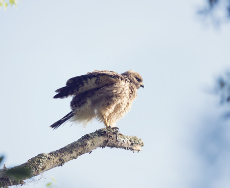 shouldered: Young Red Shouldered Hawk Perches