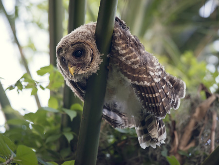 owlet: Barred Owlet Perches on a palm tree
