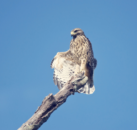 shouldered: Red Shouldered Hawk stretching its wings