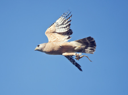 shouldered: Red Shouldered Hawk in flight with a frog leg in its talons