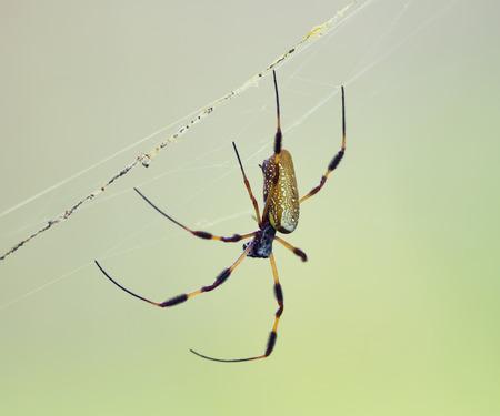 golden orb weaver: Golden Silk Orb Weaver Spider in Florida