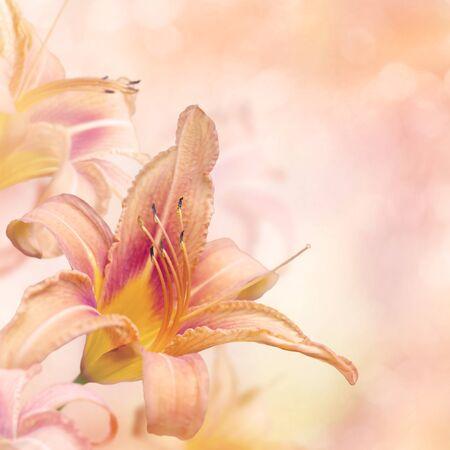 orange lily: Blossom of Orange Lily Flowers