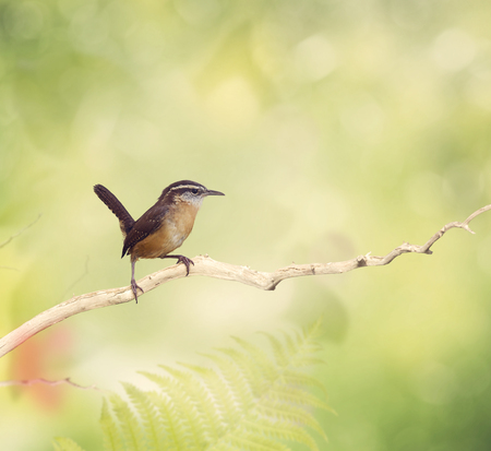 Carolina Wren Perches on a branch