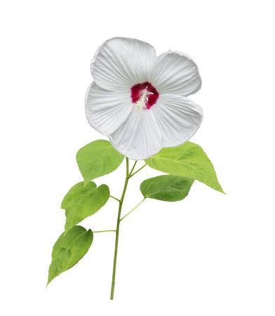 Weiß Hibiskus-Blume Auf Weißem Hintergrund Lizenzfreie Fotos, Bilder ...