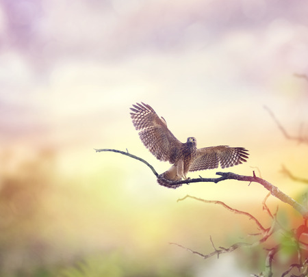 shouldered: Immature Red Shouldered Hawk at sunset Stock Photo