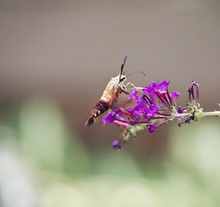 feeds: Hummingbird Moth feeds on butterfly bush