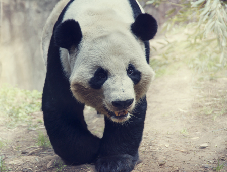 panda bear: Giant Panda Bear walking in the woods