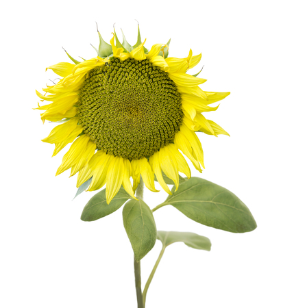 yellow stem: Sunflower isolated on white background