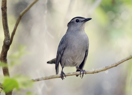 catbird: Gray Catbird Perching on a branch Stock Photo