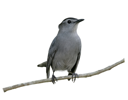 catbird: Gray Catbird Perching on a branch isolated on white background