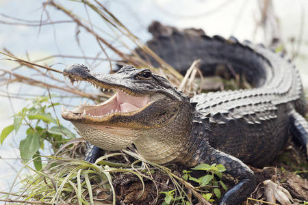 gator: American Alligator Basking with its Mouth Open