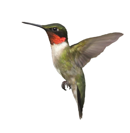 Digital Painting of  Ruby Throated Hummingbird isolated on white background