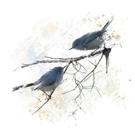 watercolor painting: Digital Painting of  Blue-gray Gnatcatchers Stock Photo