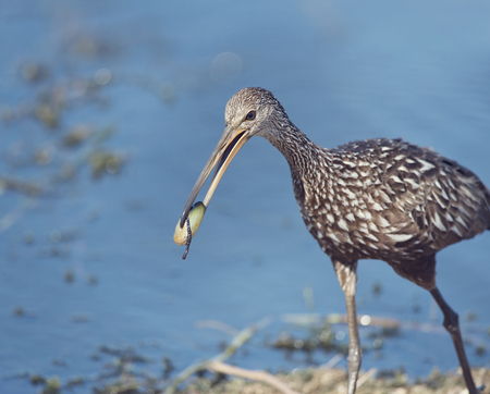mussle: Limpkin bird eating a mussle Stock Photo