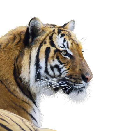 Peinture numérique du tigre portrait Banque d'images - 76413691