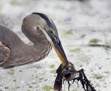 Great Blue Heron with a fish in its beak Stock Photo