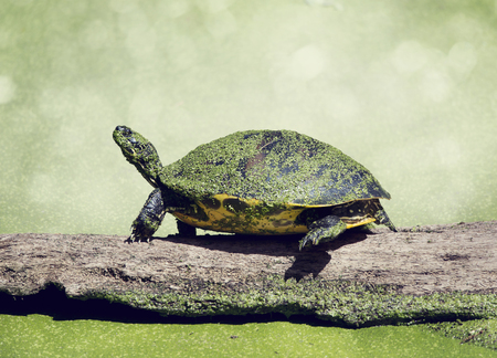 cooter: Florida Cooter on a log