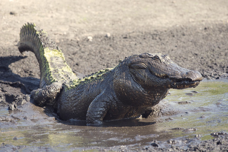 Alligator covered by mud feeds on fish in drying up pond