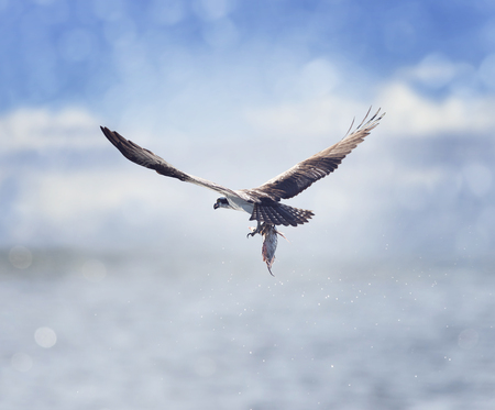 Osprey in Flight Carrying A Fish In Its Talons